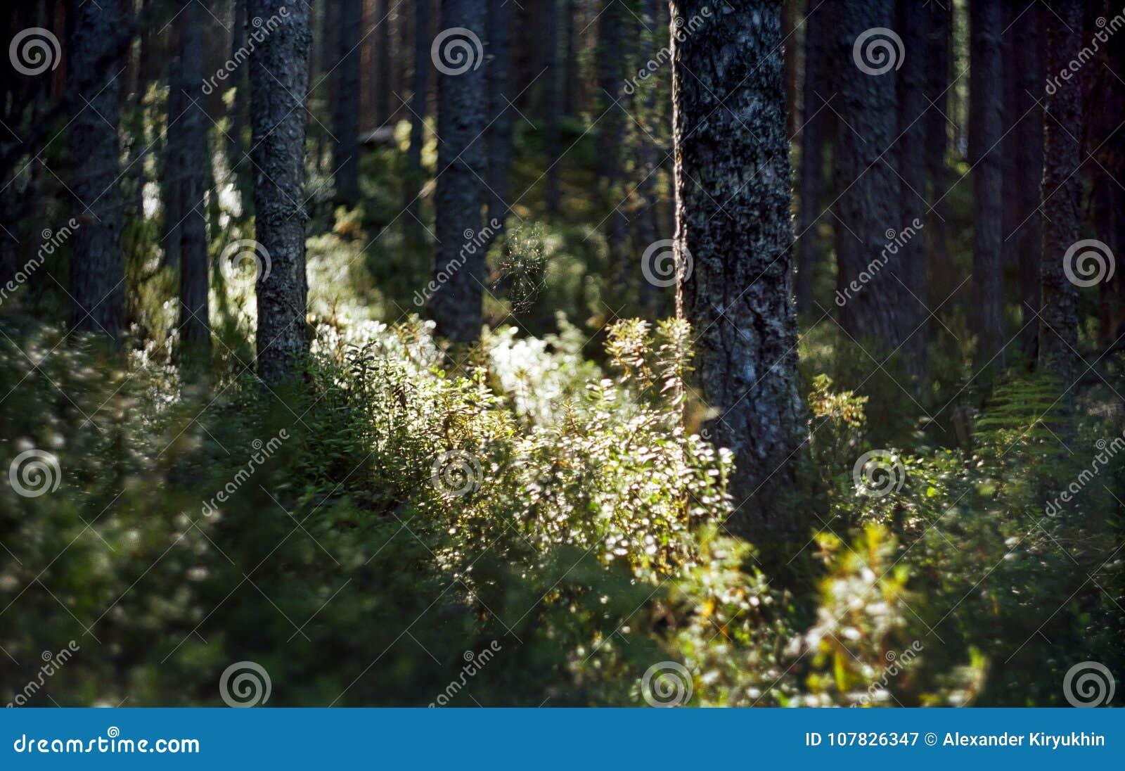 Lös barrskog i Ryssland