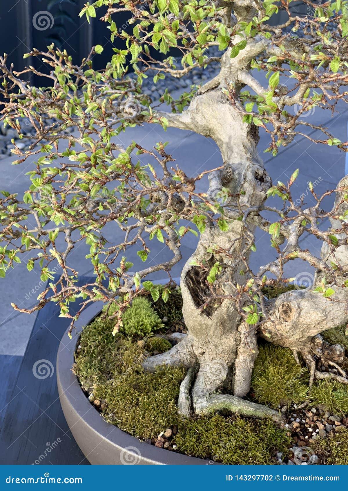 Lös bonsaimyr