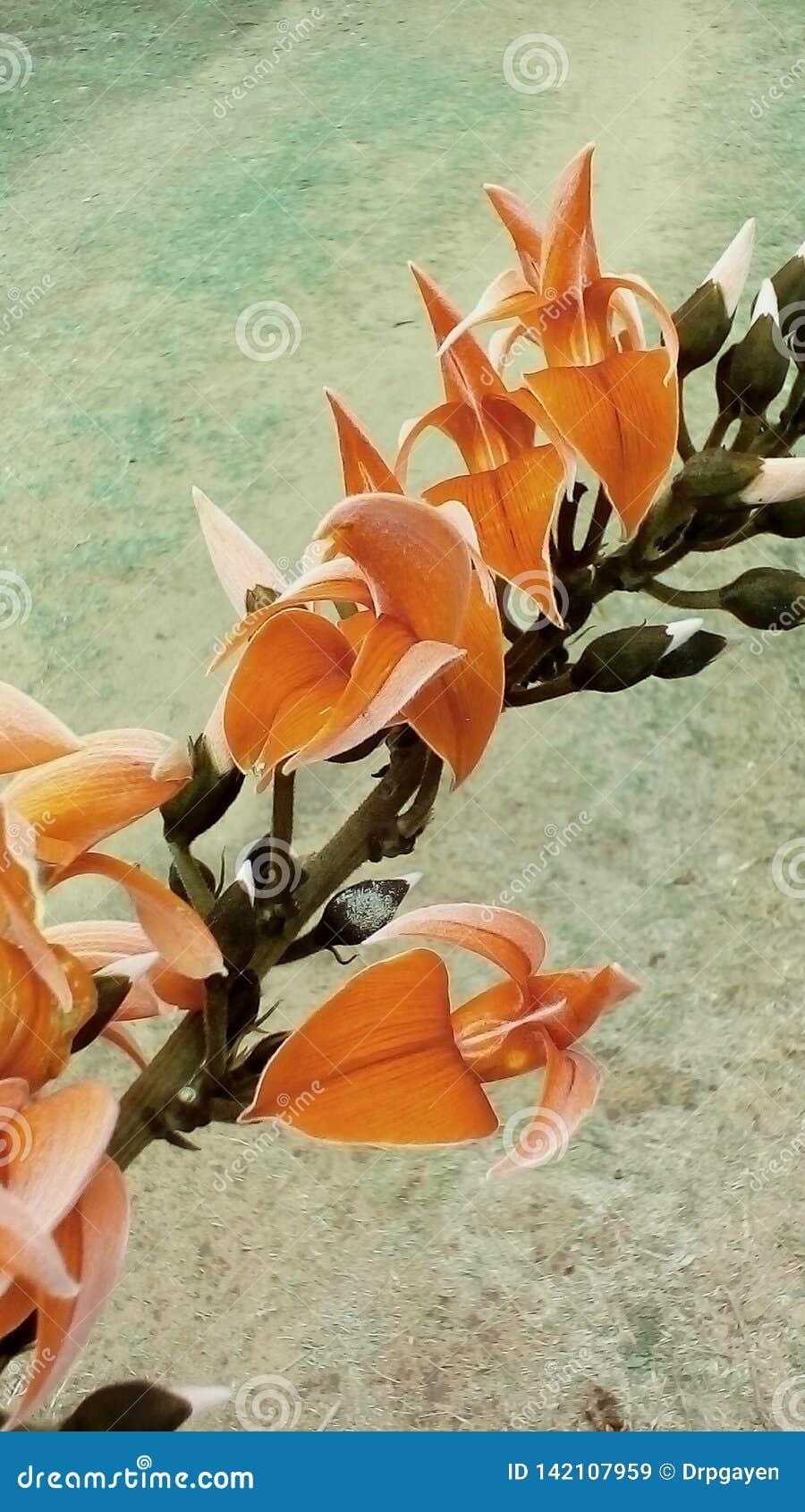 Lös djup orange kulör blomma i skogfältet & x22; Skogsbrand & x22; blomma