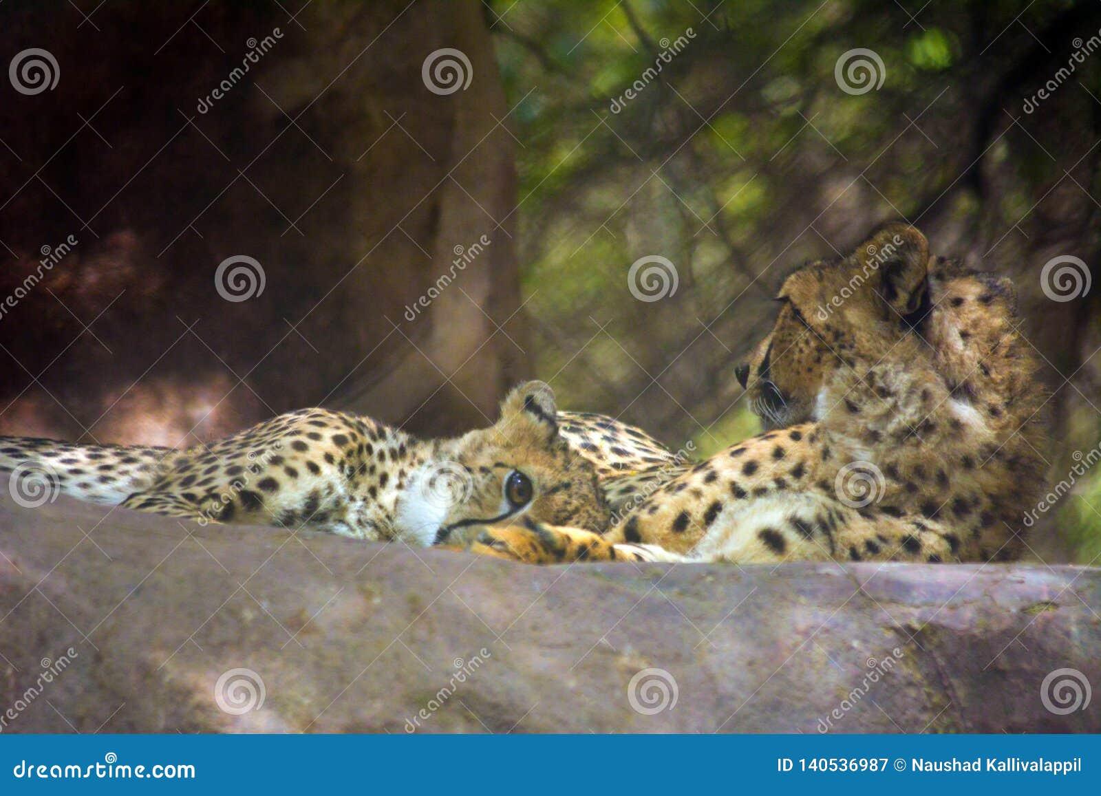 Lös djur gepard