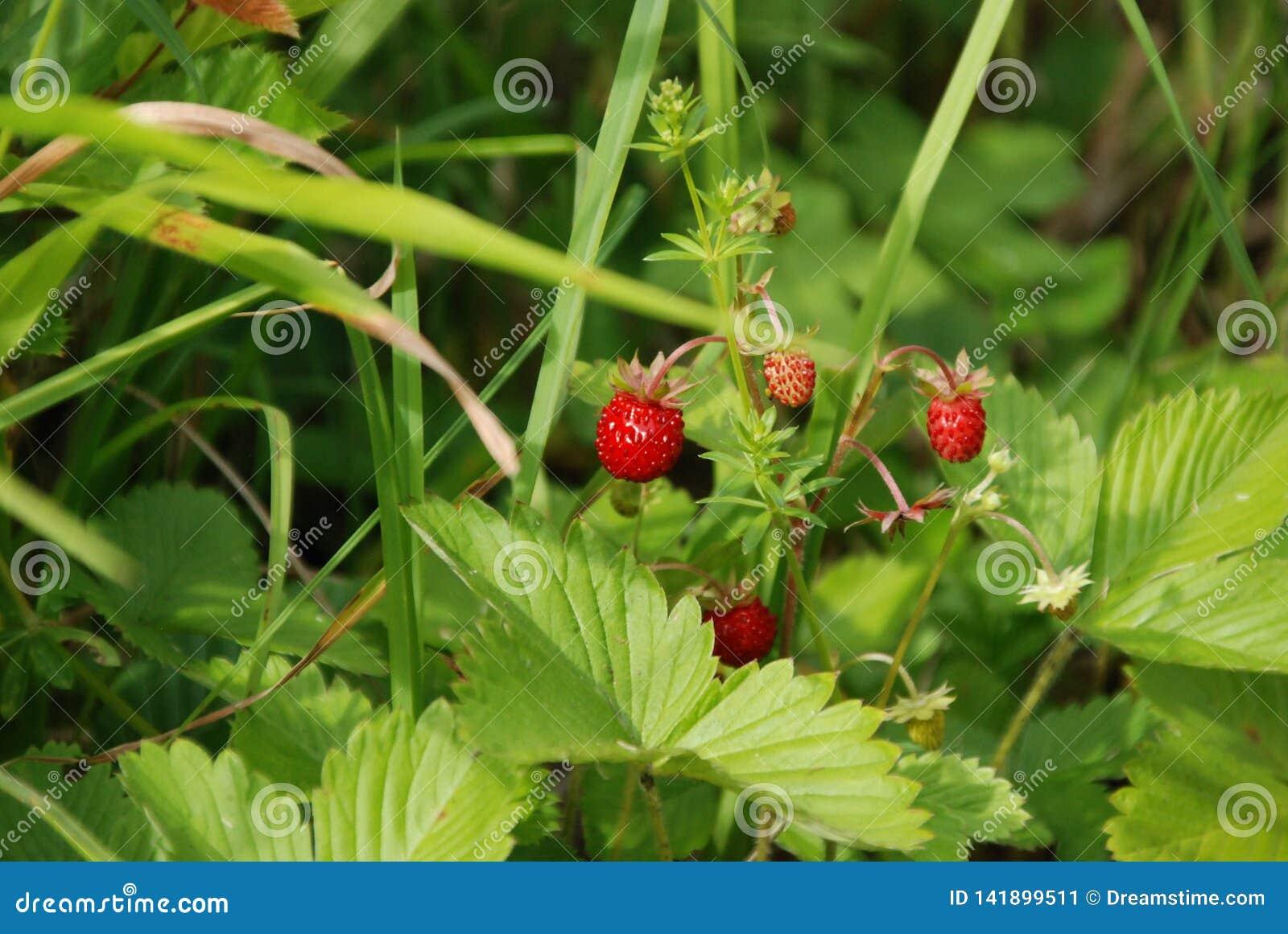 Lös jordgubbe i den svarta skogen