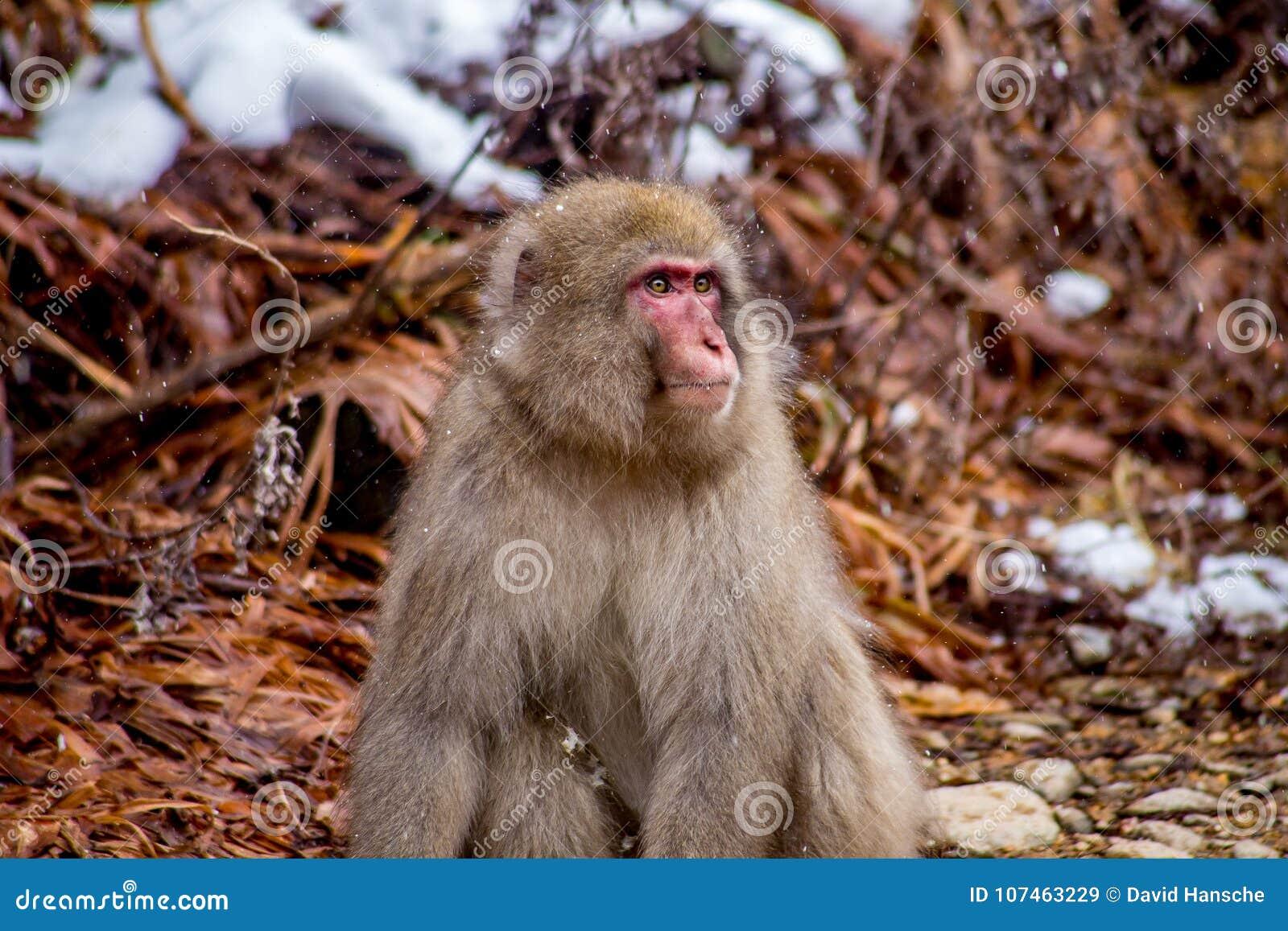 Lös manlig japansk Macaque eller snöapa