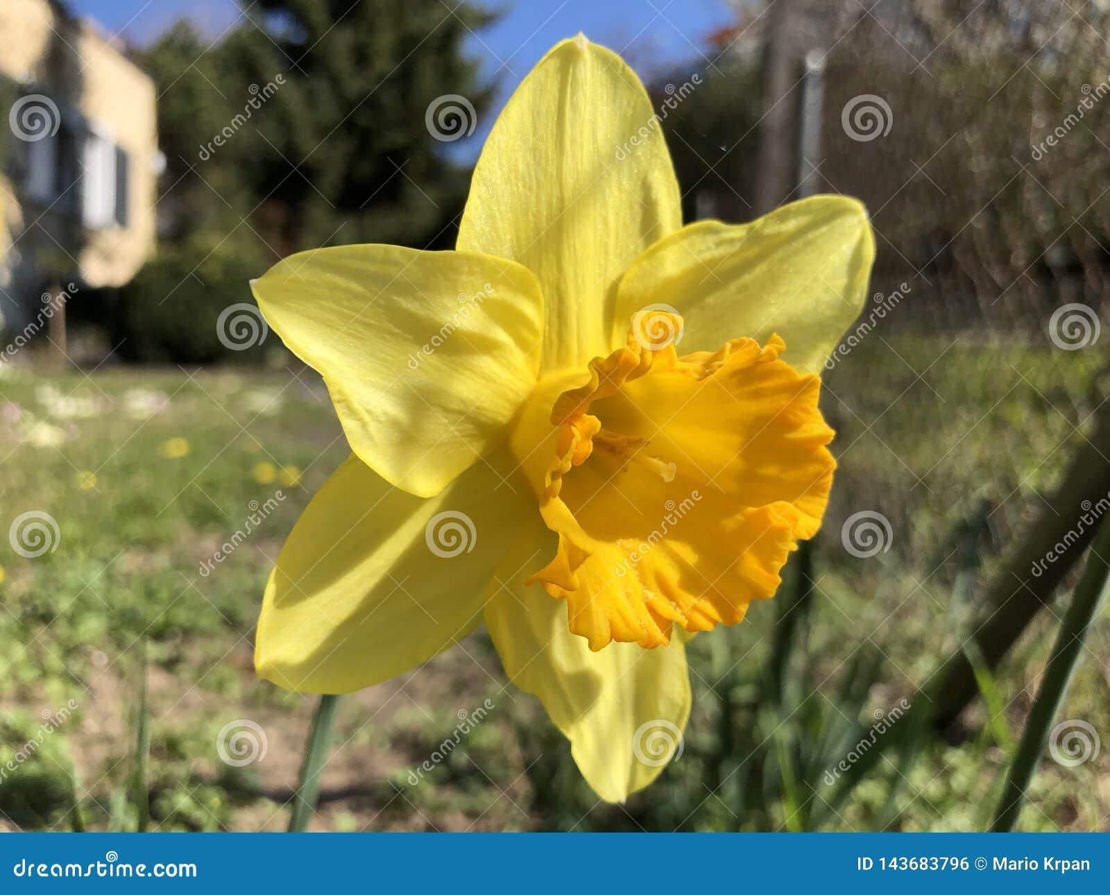 Lös påsklilja eller lånad liljapingstliljapseudonarcissus, Gelbe Narzisse, Osterglocke oder Osterglöckchen