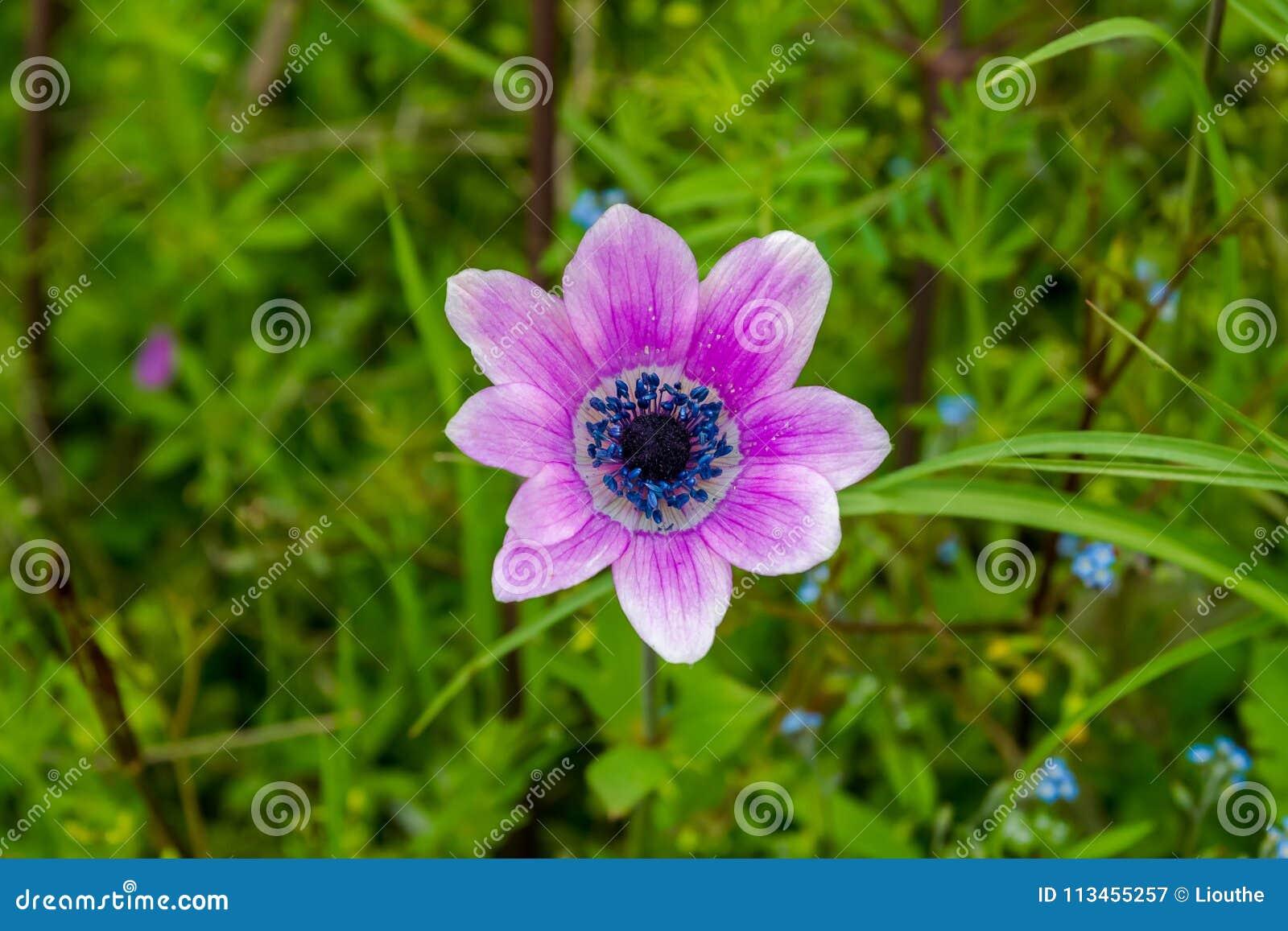 Lös purpurfärgad anemon