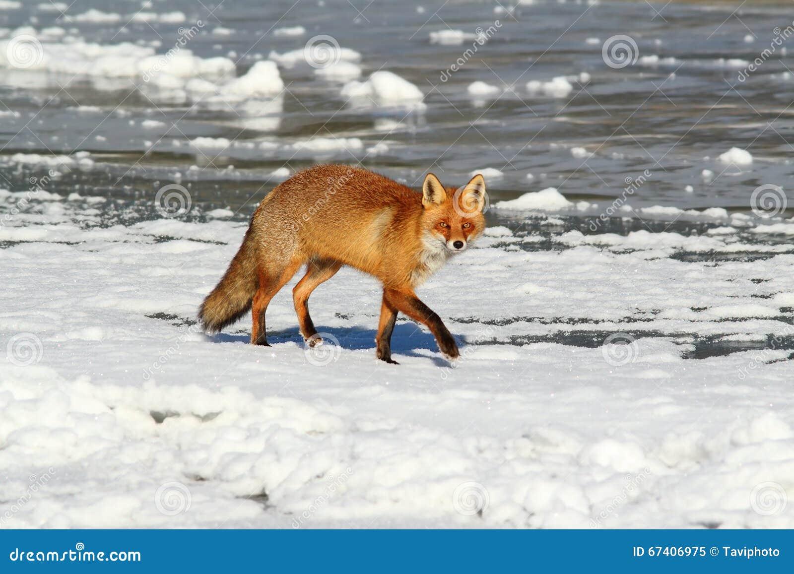 Lös röd räv på is
