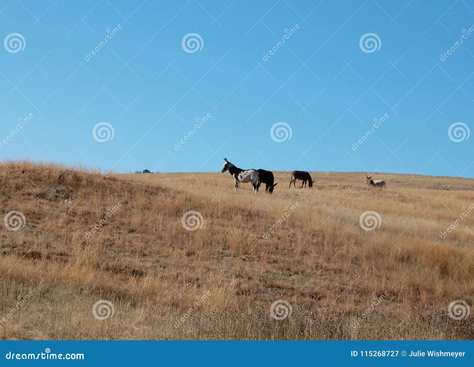 Lösa Burros på Custer State Park i South Dakota