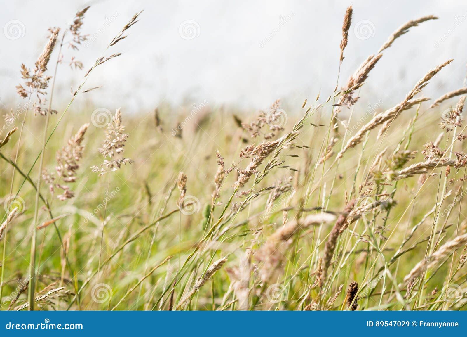 Lösa gräs som blåser i bris i en bygdäng