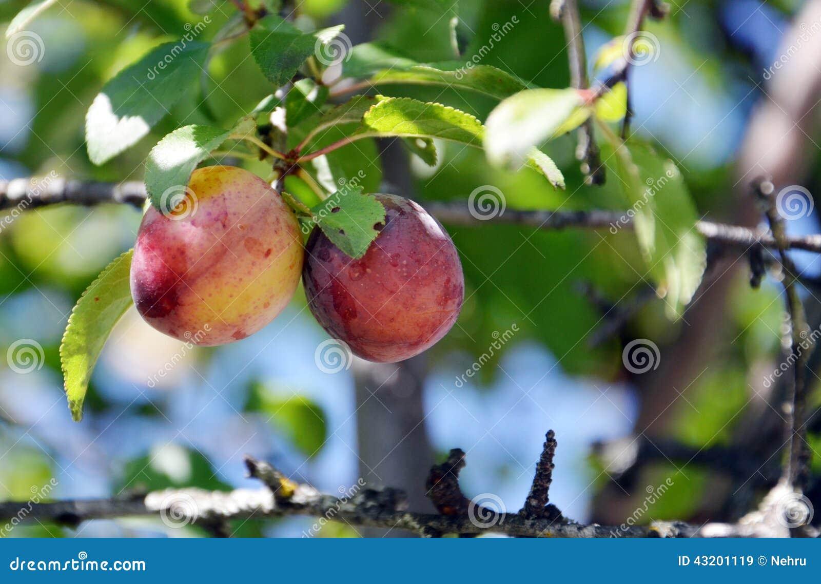 Download Lösa organiska plommoner fotografering för bildbyråer. Bild av smakligt - 43201119
