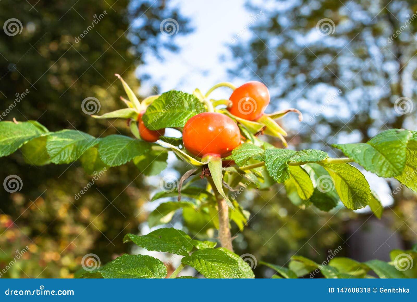 Lösa rosa höfter med den ljusa hunden steg bär eller frukter på naturbakgrund av blå himmel