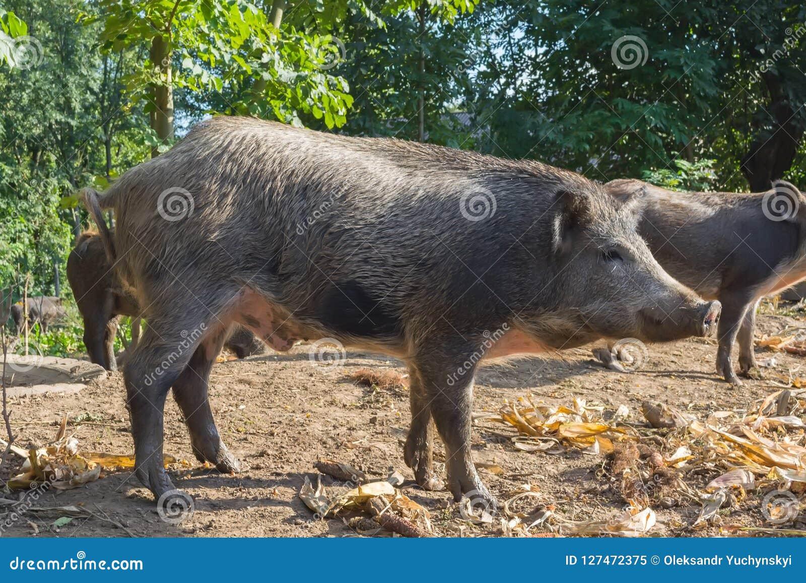 Lösa svin i den offentliga skogbilagan hålls för reproduktion och följande frigörare in i det löst