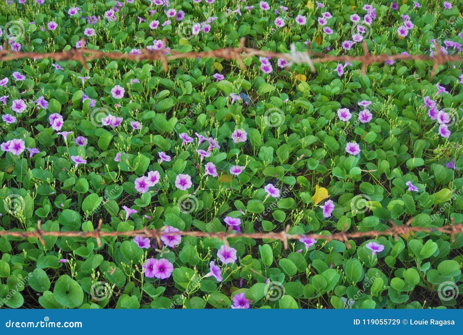 Lösa violets bak taggtrådar