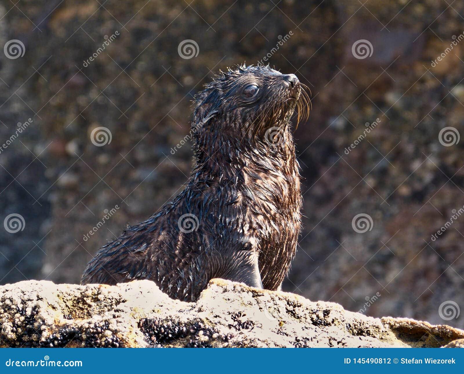 L?st behandla som ett barn skyddsremsan som tycker om solen p? den Wharariki stranden, nya Zealan