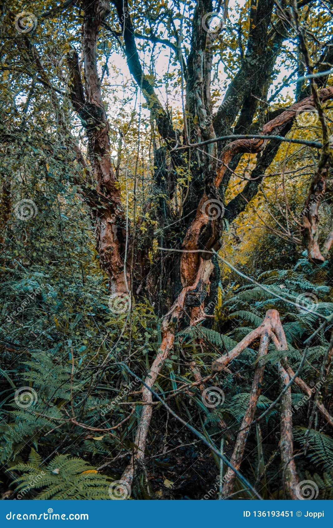 Löst och stort växande träd i rainforest på den södra ön av Nya Zeeland