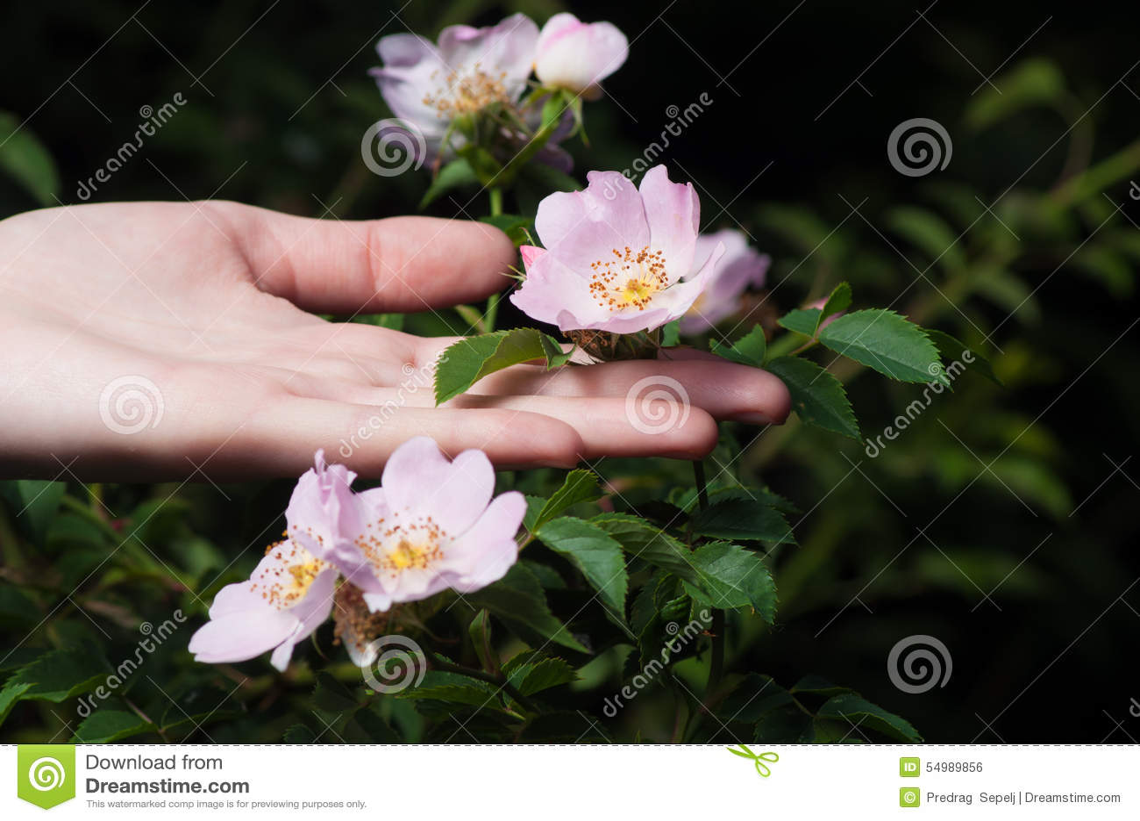 Löst steg blommor med den kvinnliga handen på mörk bakgrund