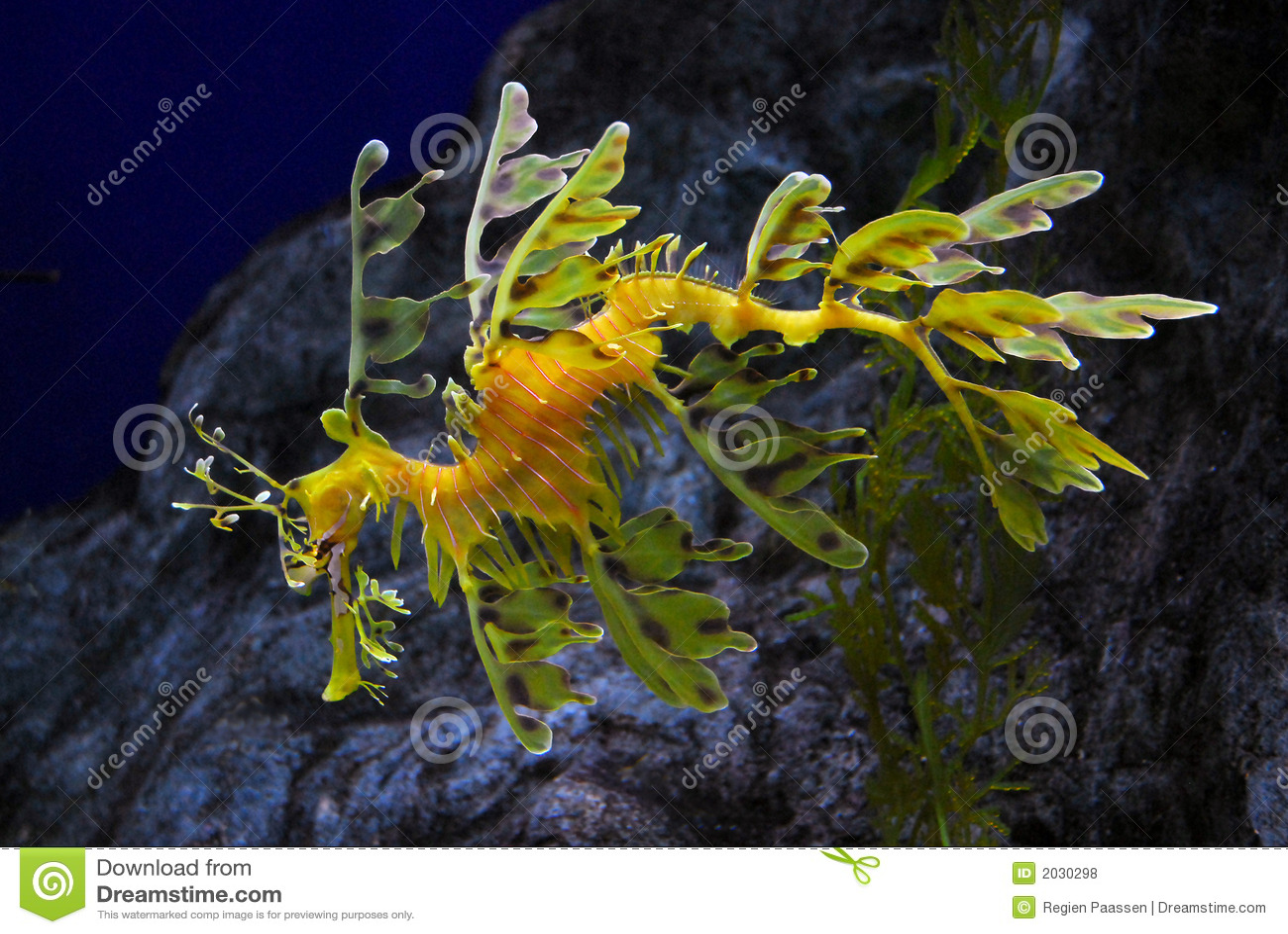 Lövrik seadragon