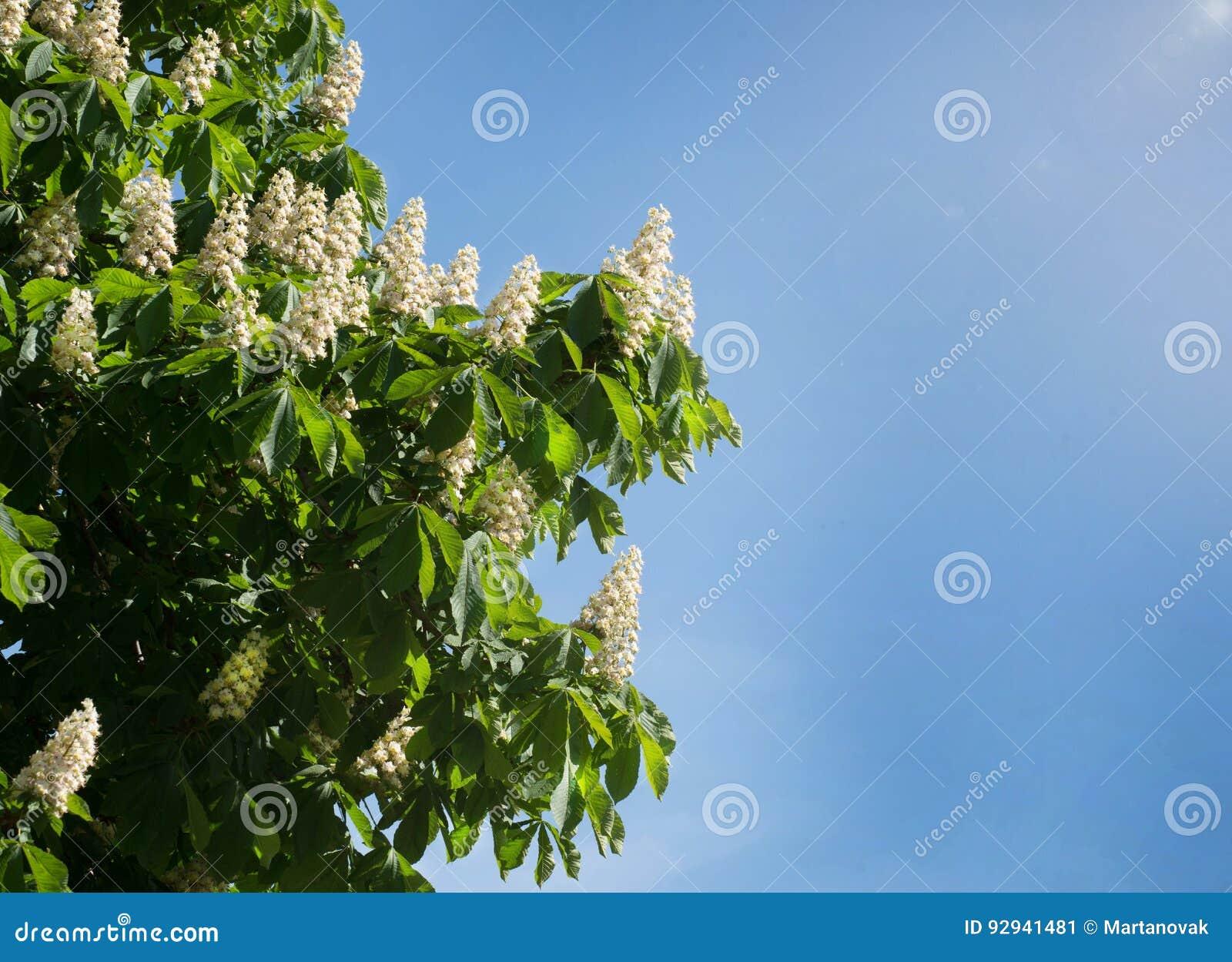 Lövverk och blommor av den kastanjebruna Aesculushippocastanumen blommor för Häst-kastanj Conkerträd, blad