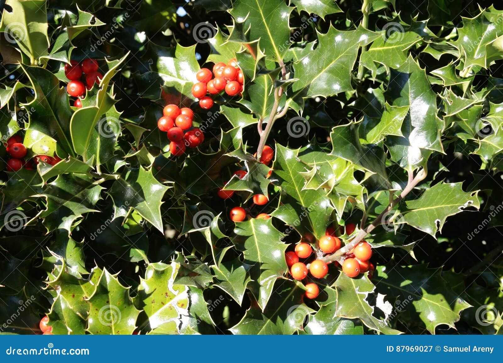 Lövverk och stenfrukt av järnek i vinter