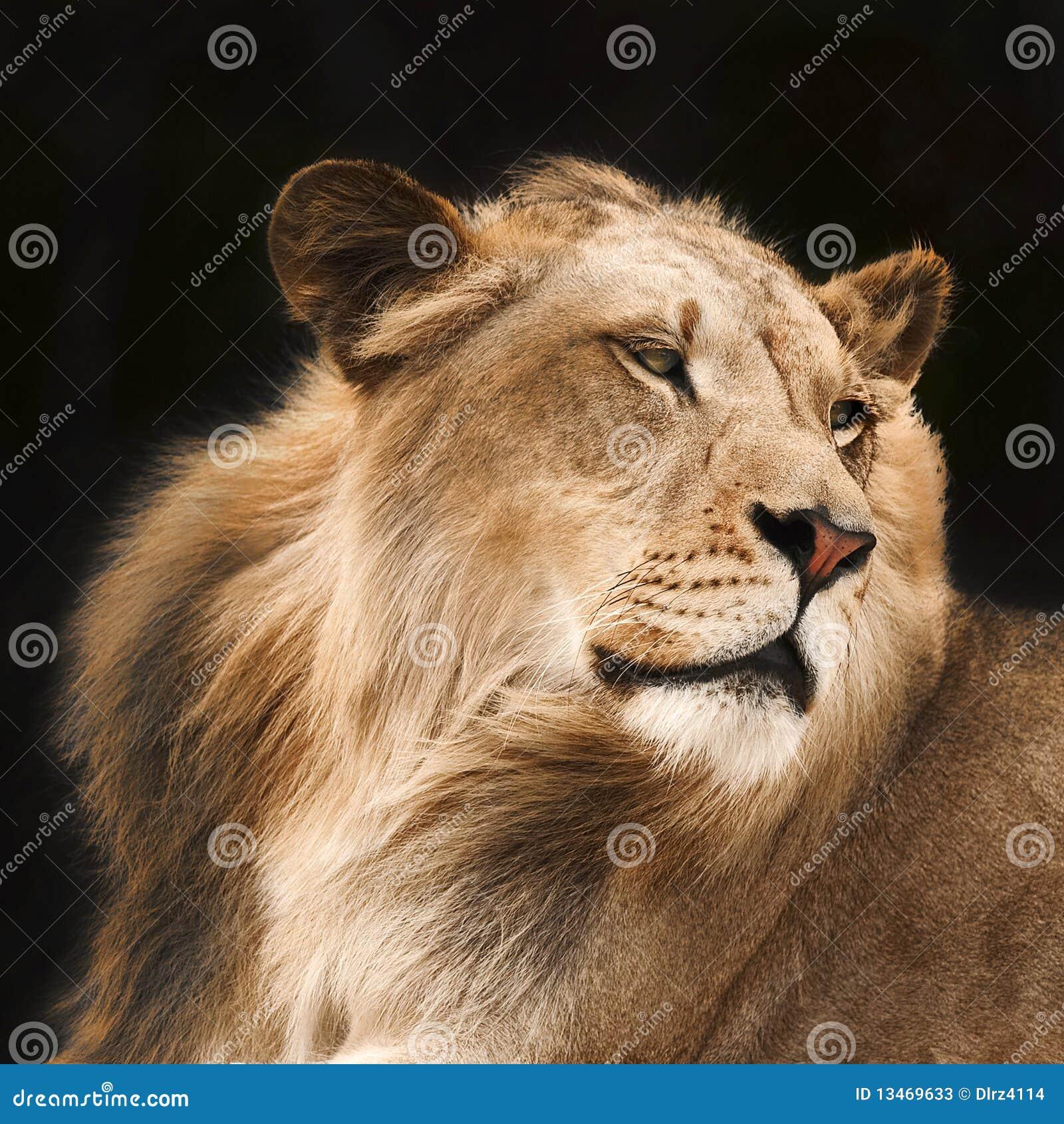 Löwe in den Schatten