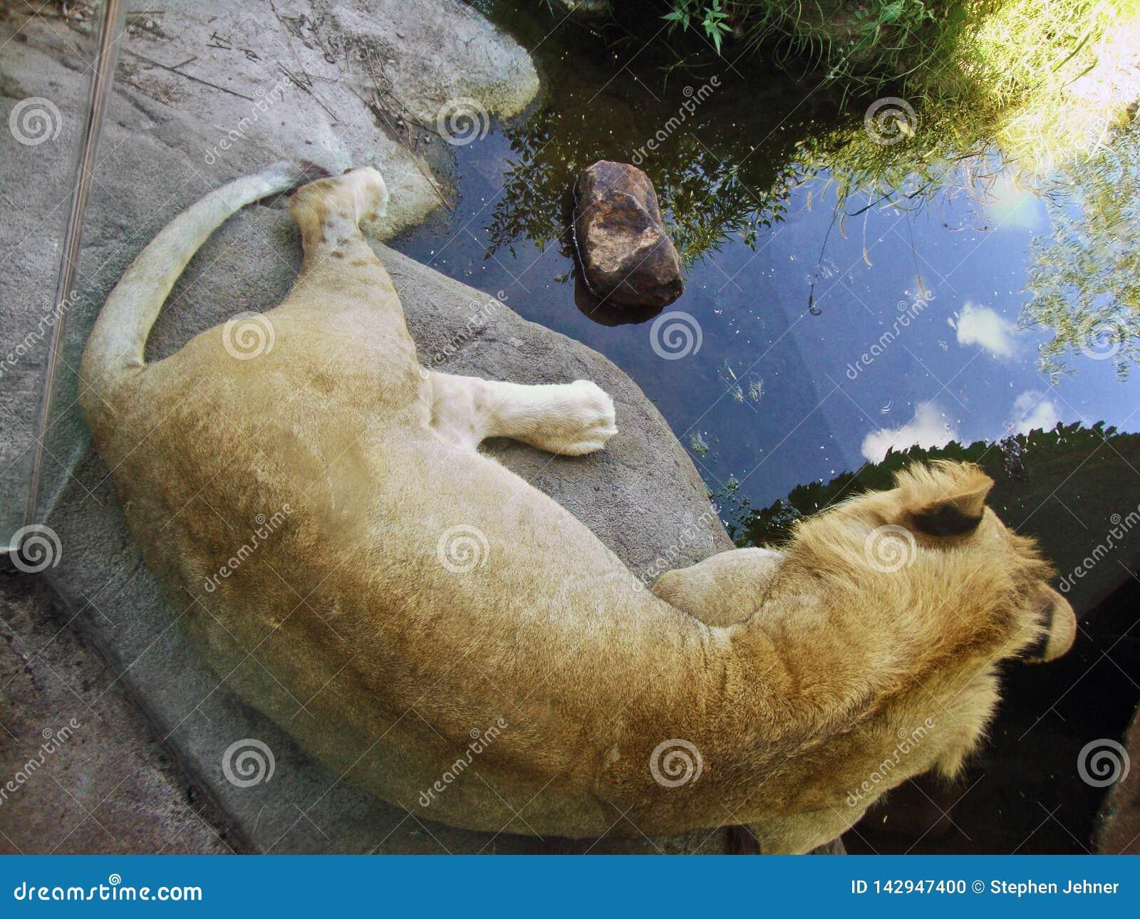 Löwe, der auf einen Steinabschnitt nachdenkt über das Wasser legt