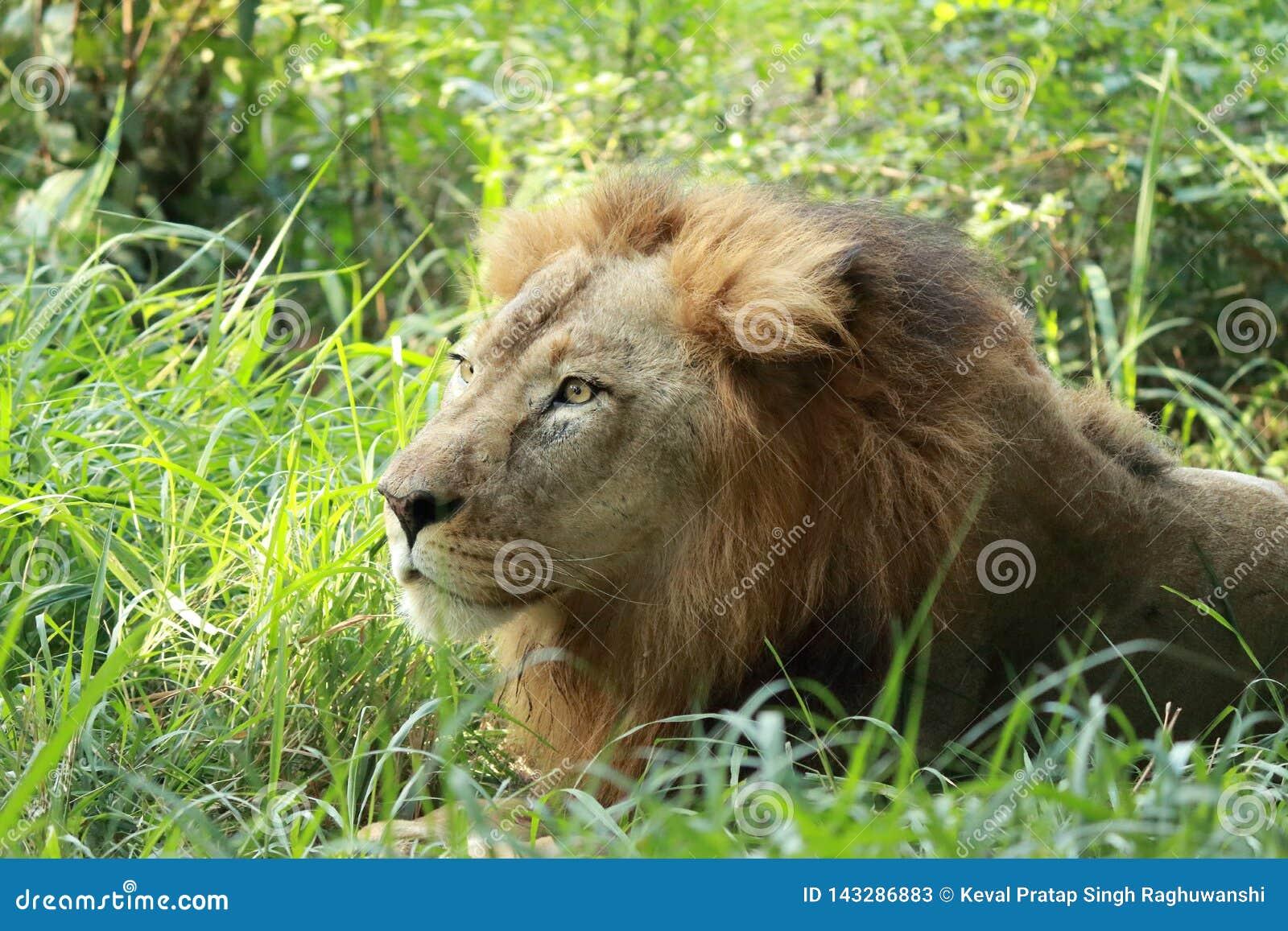 Löwe, der in den Sträuchen sitzt