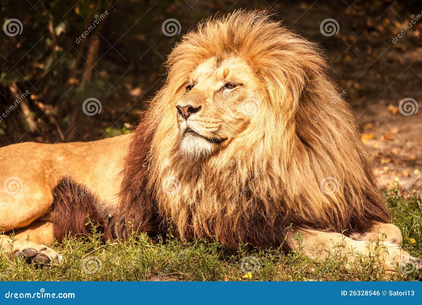Löwe der König