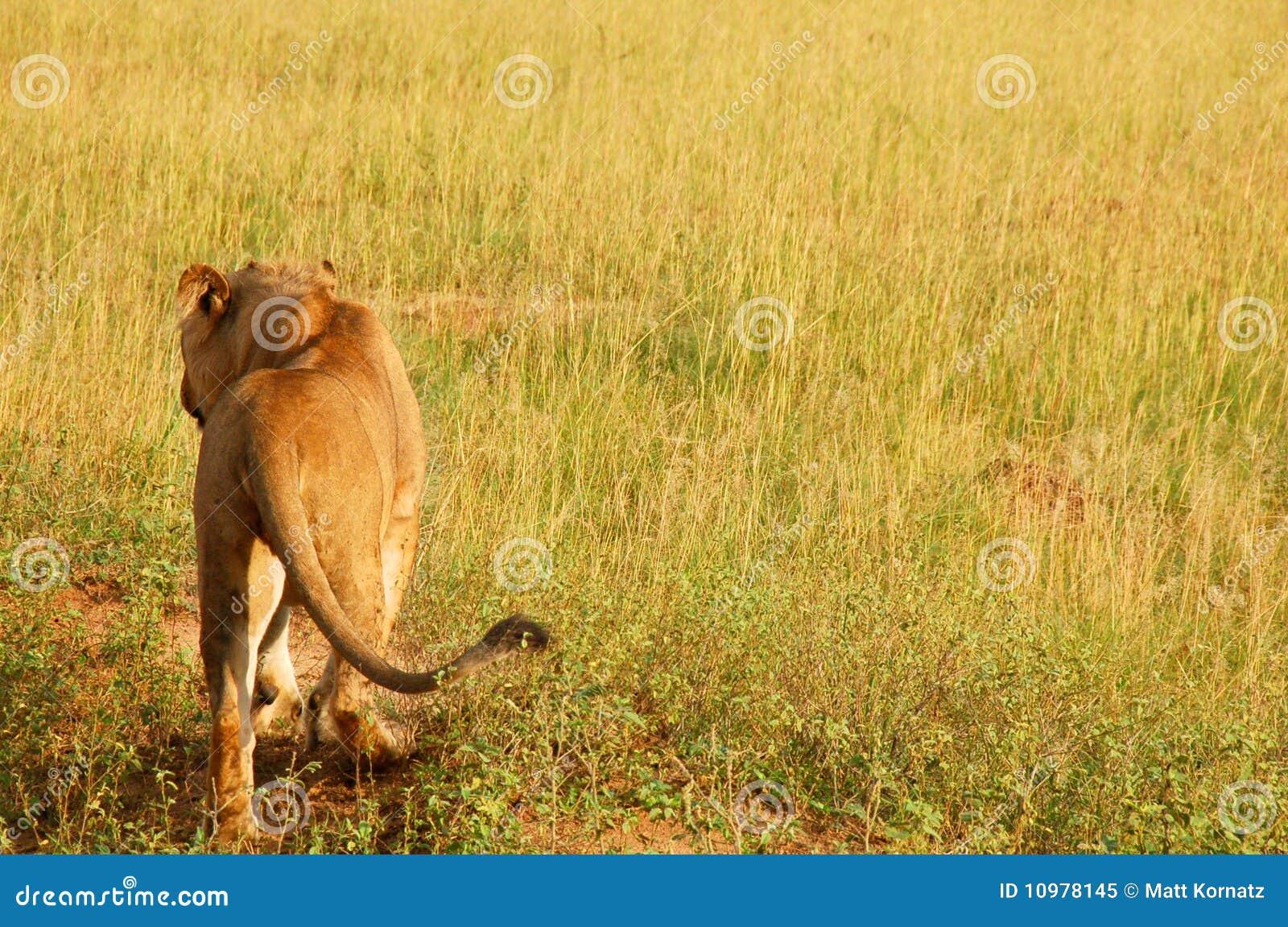 Löwe, der weg geht