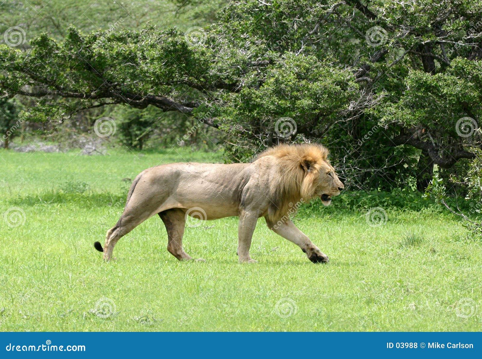 Löwe-Gehen