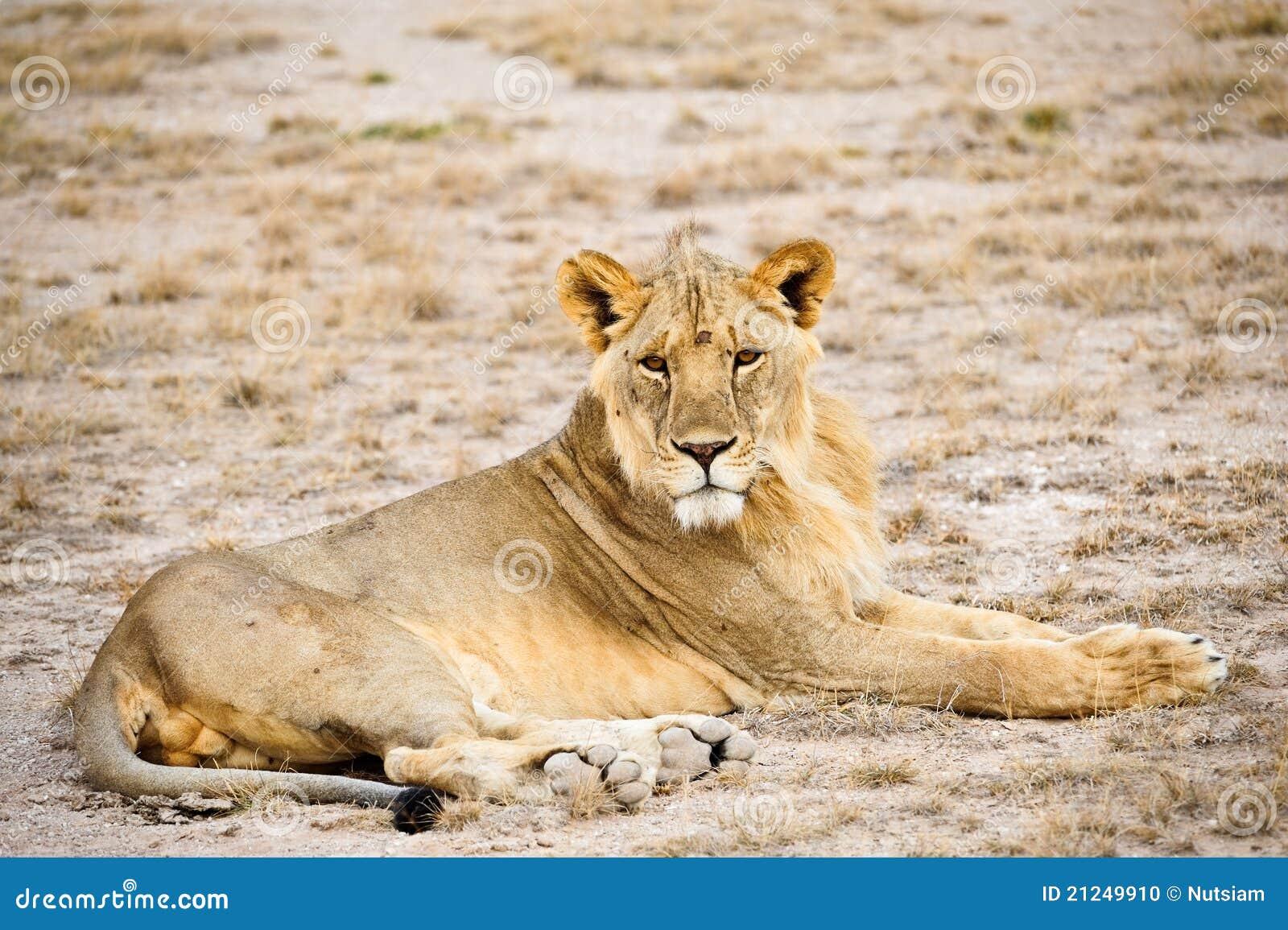 Löwe-Masai Mara Kenia