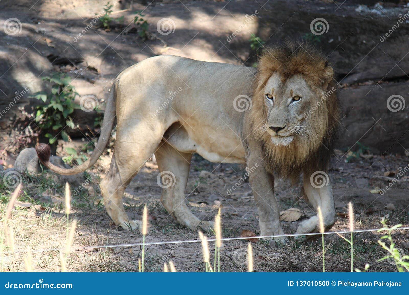 Löwe, sehen es in KHON- KAENzoo