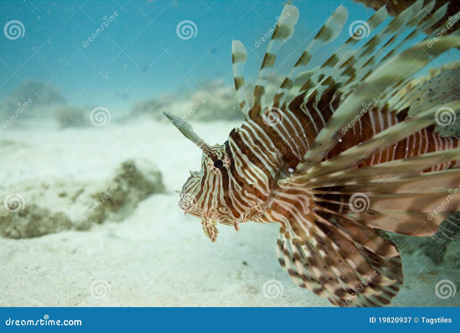 Download Löwefische stockbild. Bild von feiertage, sand, ozean - 19820937
