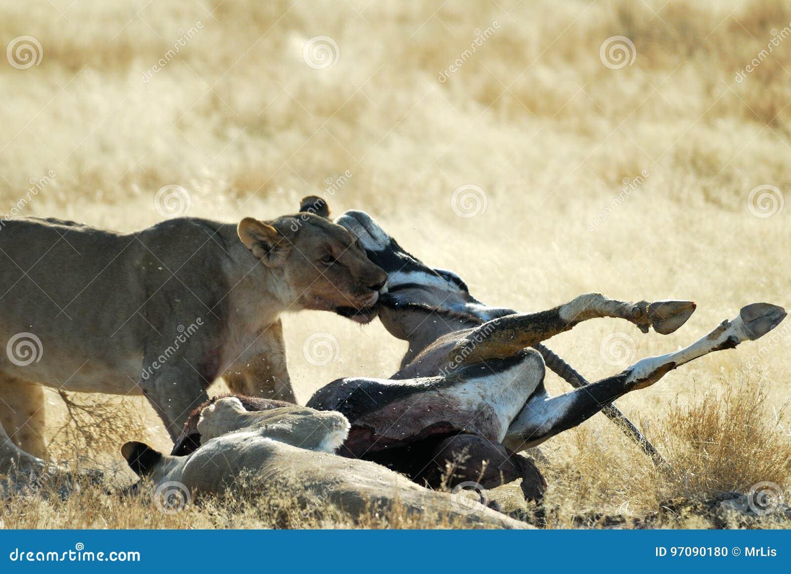 Löwen, die ein Opfer, Nationalpark Etosha, Namibia essen