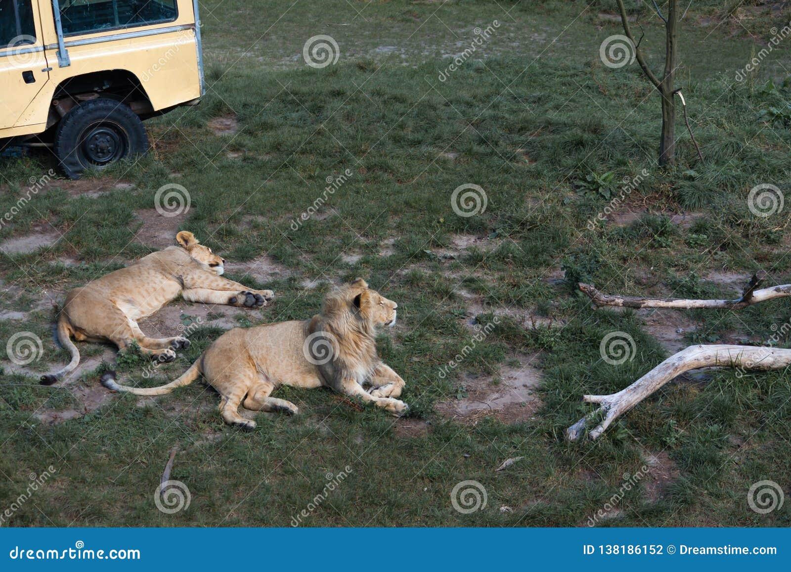 Löwen, die im Gras liegen