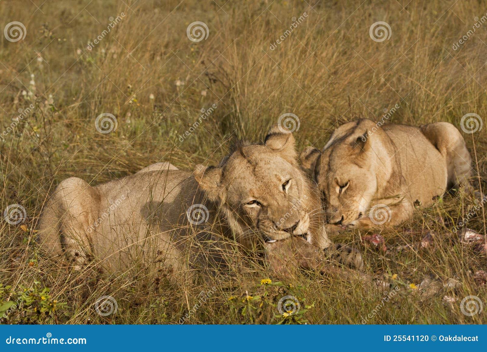 Löwen mit geschmackvollen Stückchen