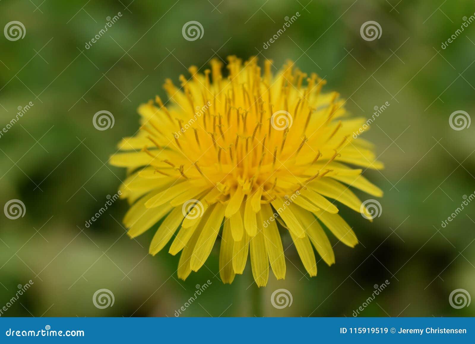 Löwenzahnmakroabschluß oben Taraxacum ist eine große Klasse von Blütenpflanzen im Familie Asteraceae, der aus Spezies Commo beste