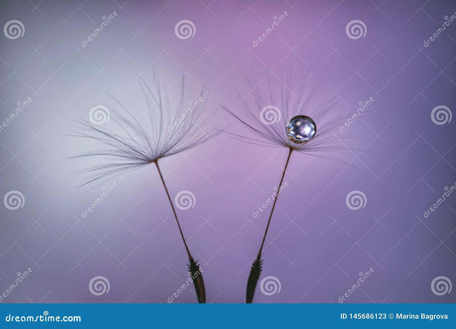 Löwenzahnsamen auf rosa lila Pastellhintergrund mit Wassertropfen nah oben Flaumige Samen auf einem unscharfen purpurroten Hinter