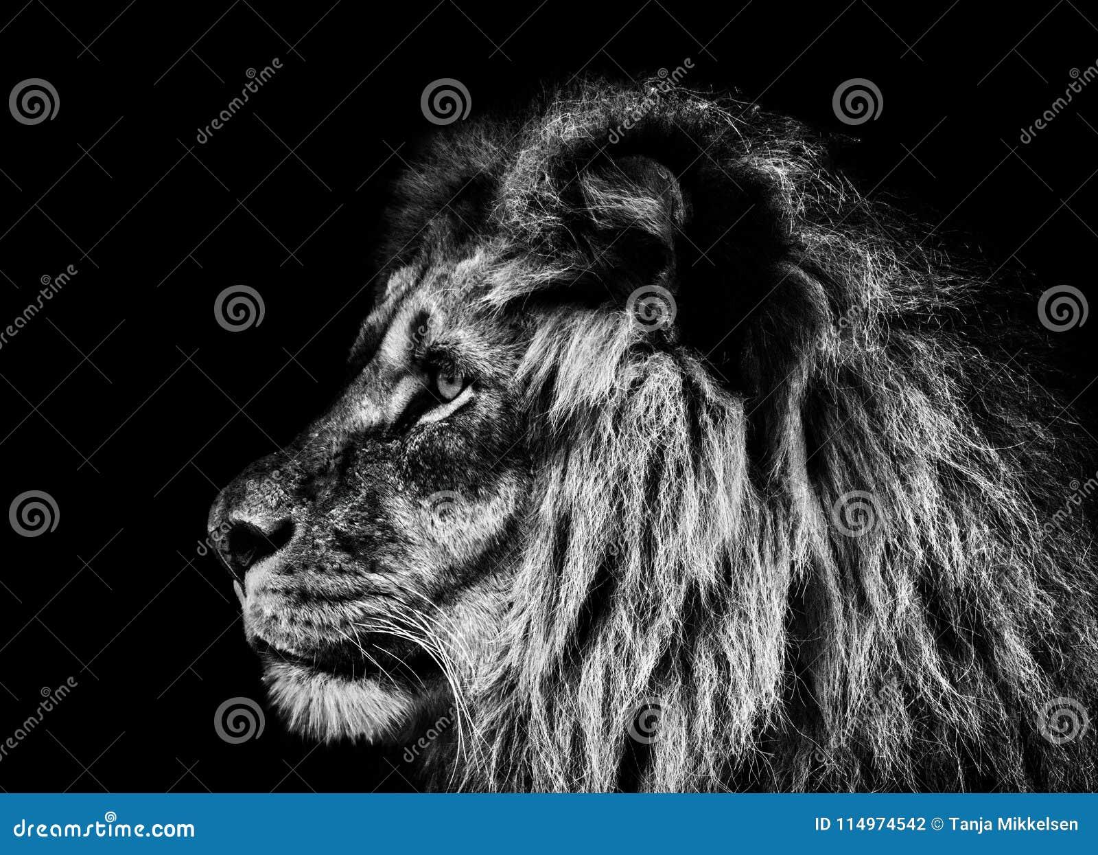 Löweporträt in Schwarzweiss