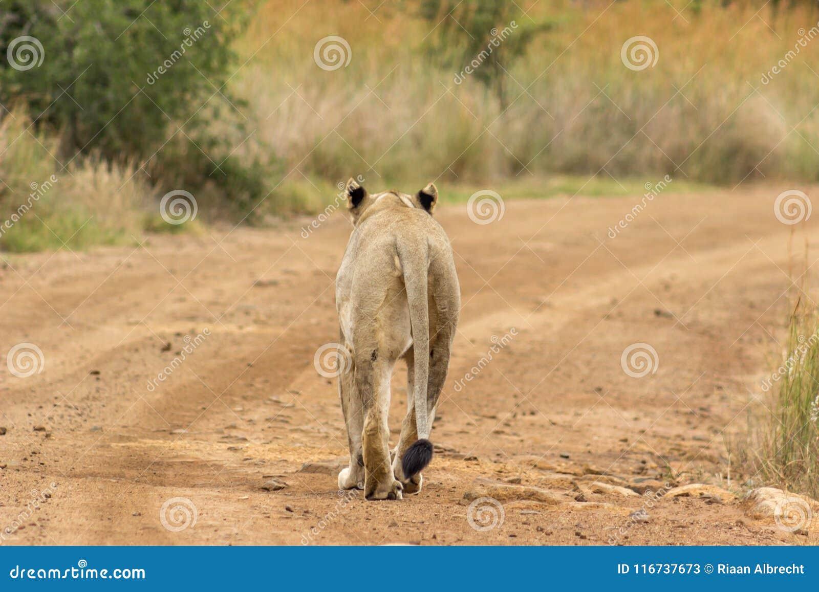 Löwin, die auf einen Schotterweg geht