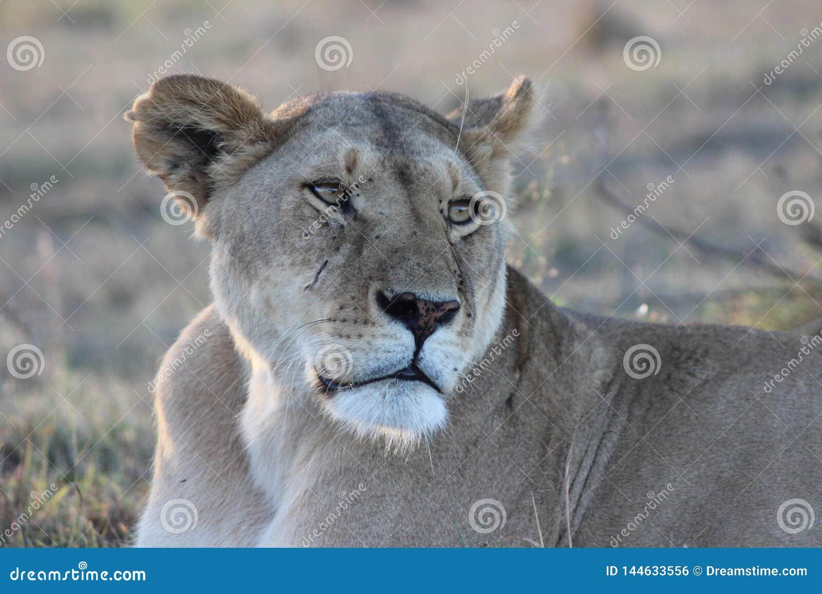 Löwin, die am Nachmittag stillsteht und schaut