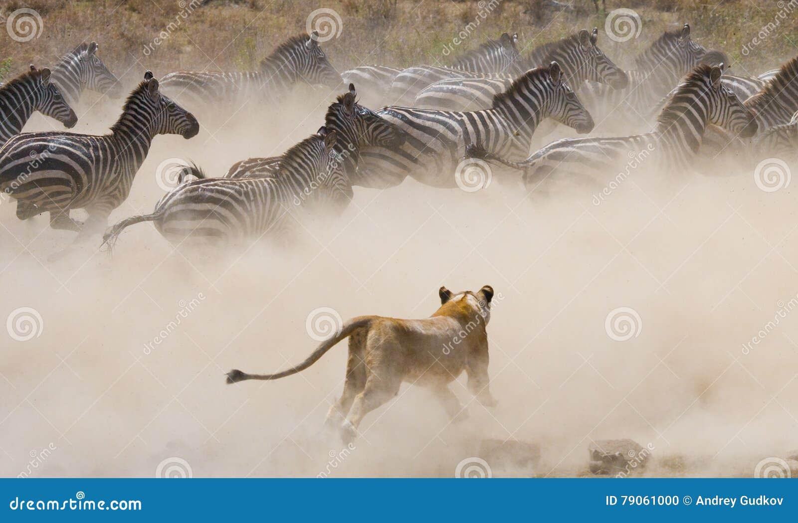 Löwinangriff auf einem Zebra Chiang Mai kenia tanzania Masai Mara serengeti