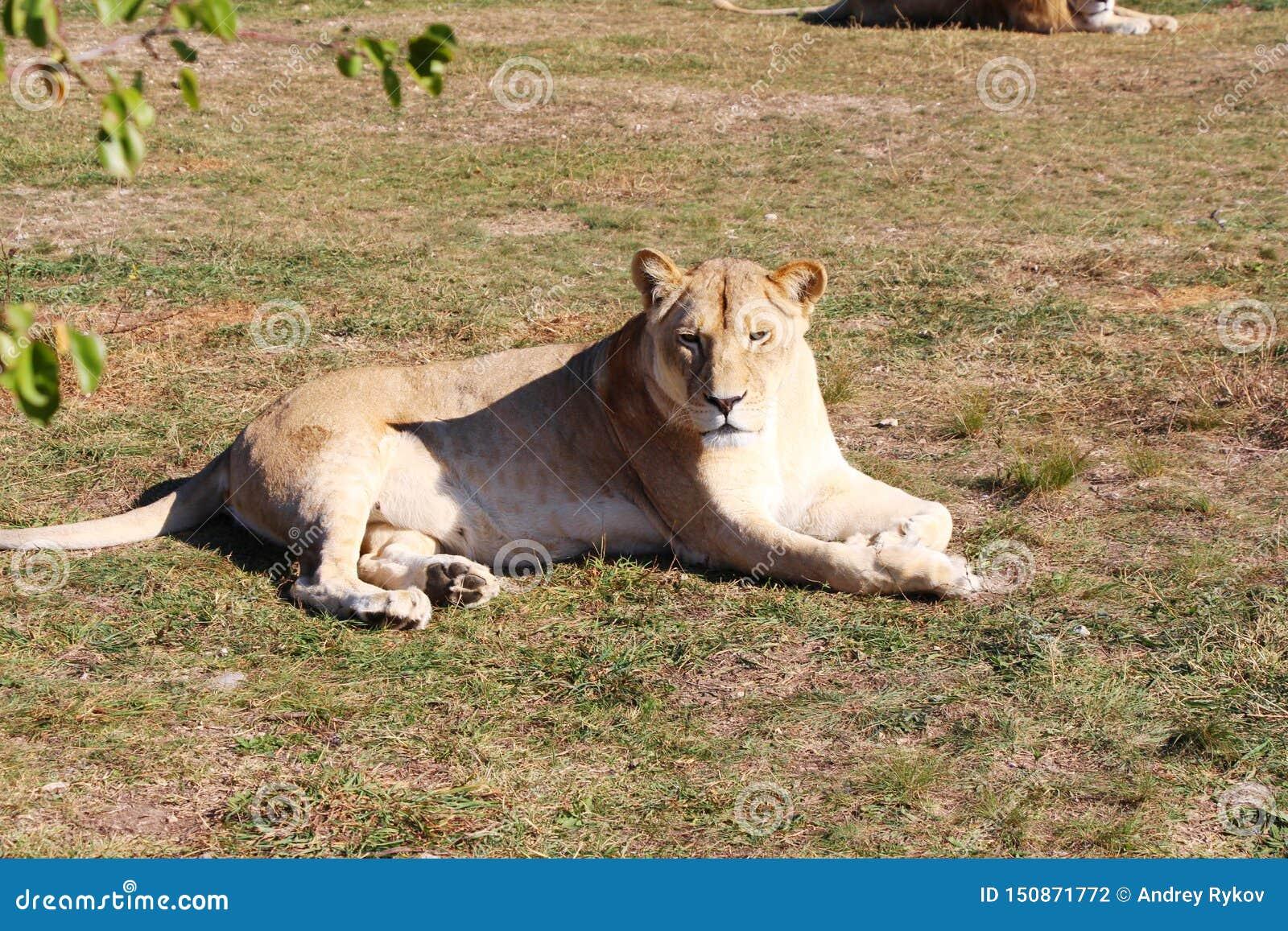 Löwinlügen und -reste aus den Grund