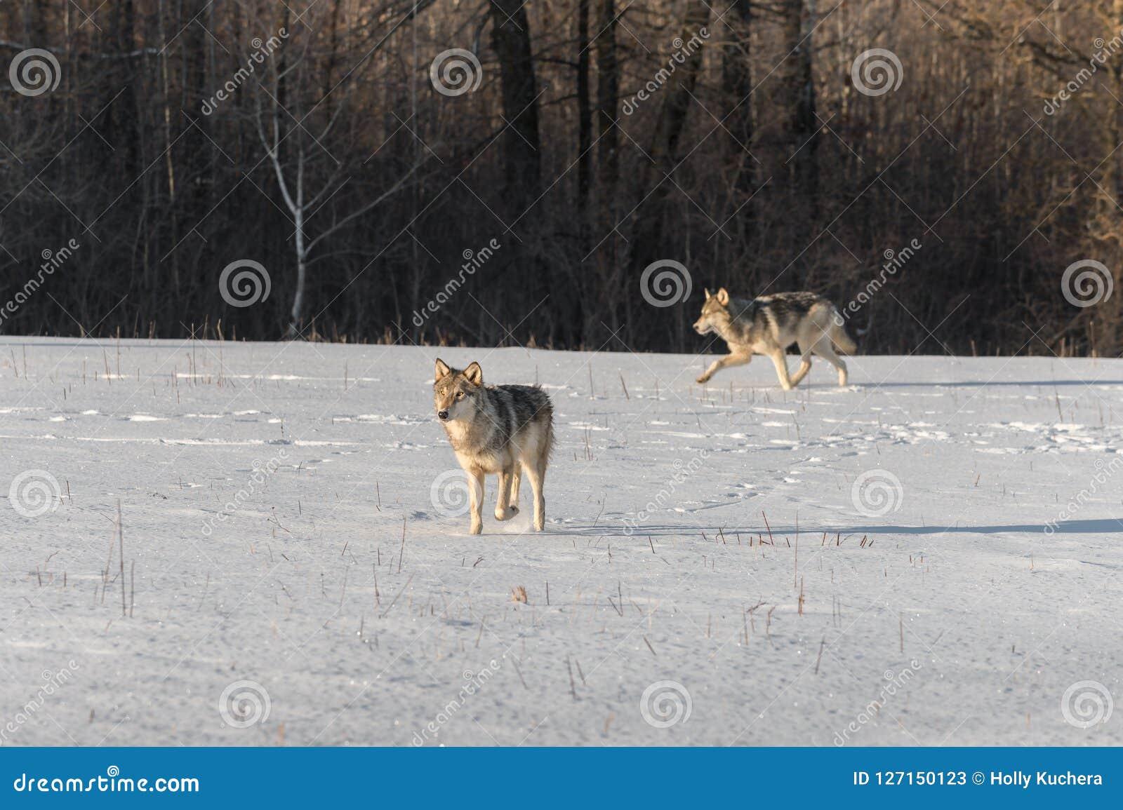 Lúpus de Grey Wolves Canis no campo nevado