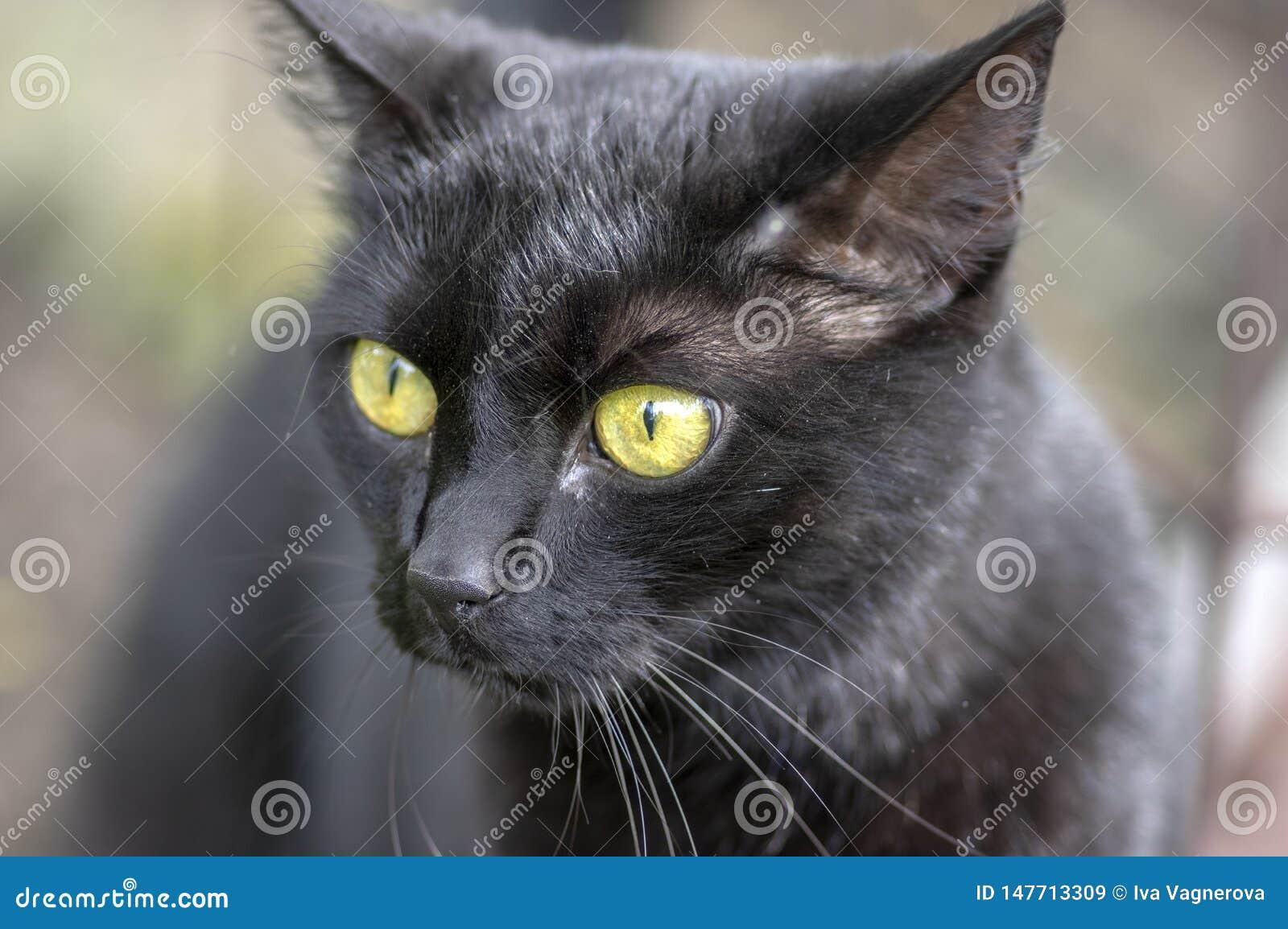 Lüge der schwarzen Katze in der Wartezeit im Garten, dunkles Tier mit hellgrünen Augen, schönes Tier, Detailansichtporträt