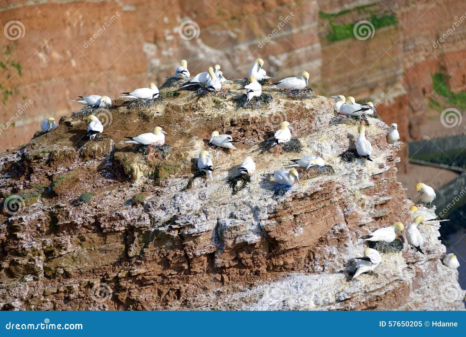 Lęgowi ptaki w falezach Helgoland