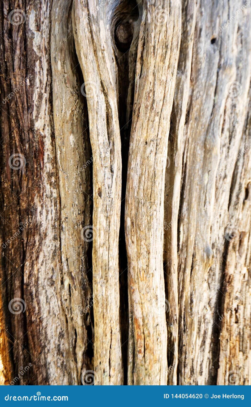 L écorce rugueuse et superficielle par les agents d un arbre de cèdre