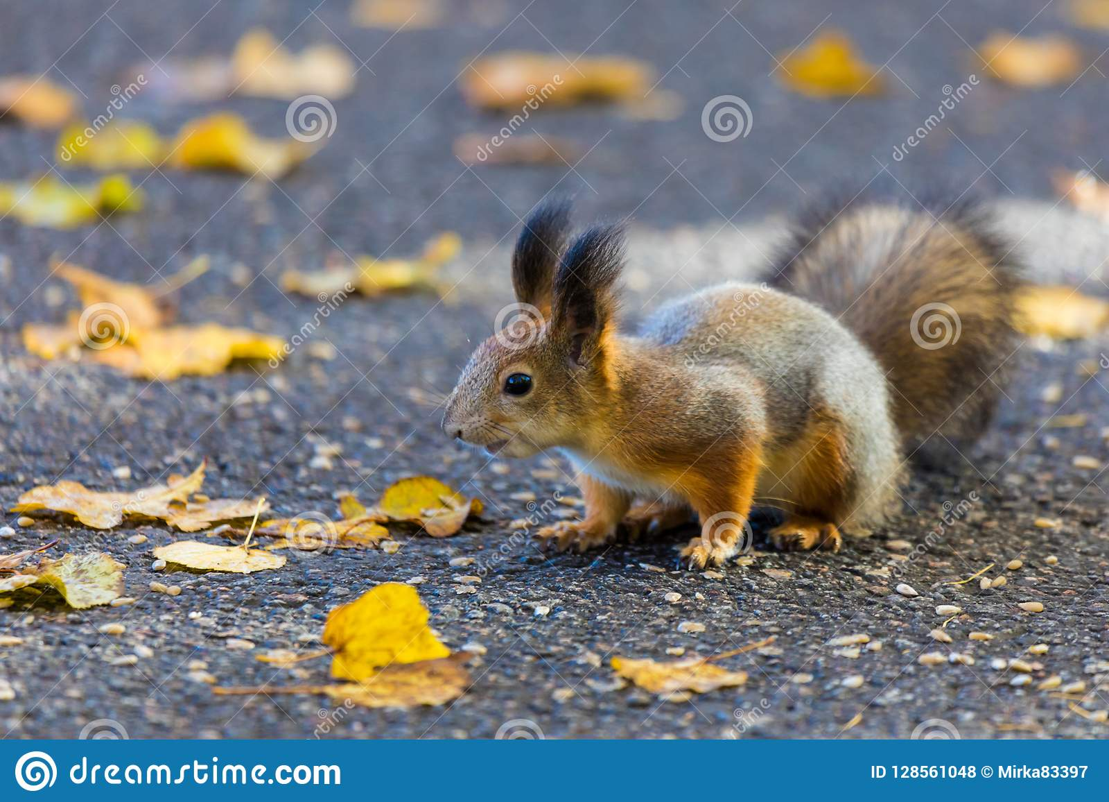 L écureuil jouant en parc recherchant la nourriture pendant le jour ensoleillé d automne