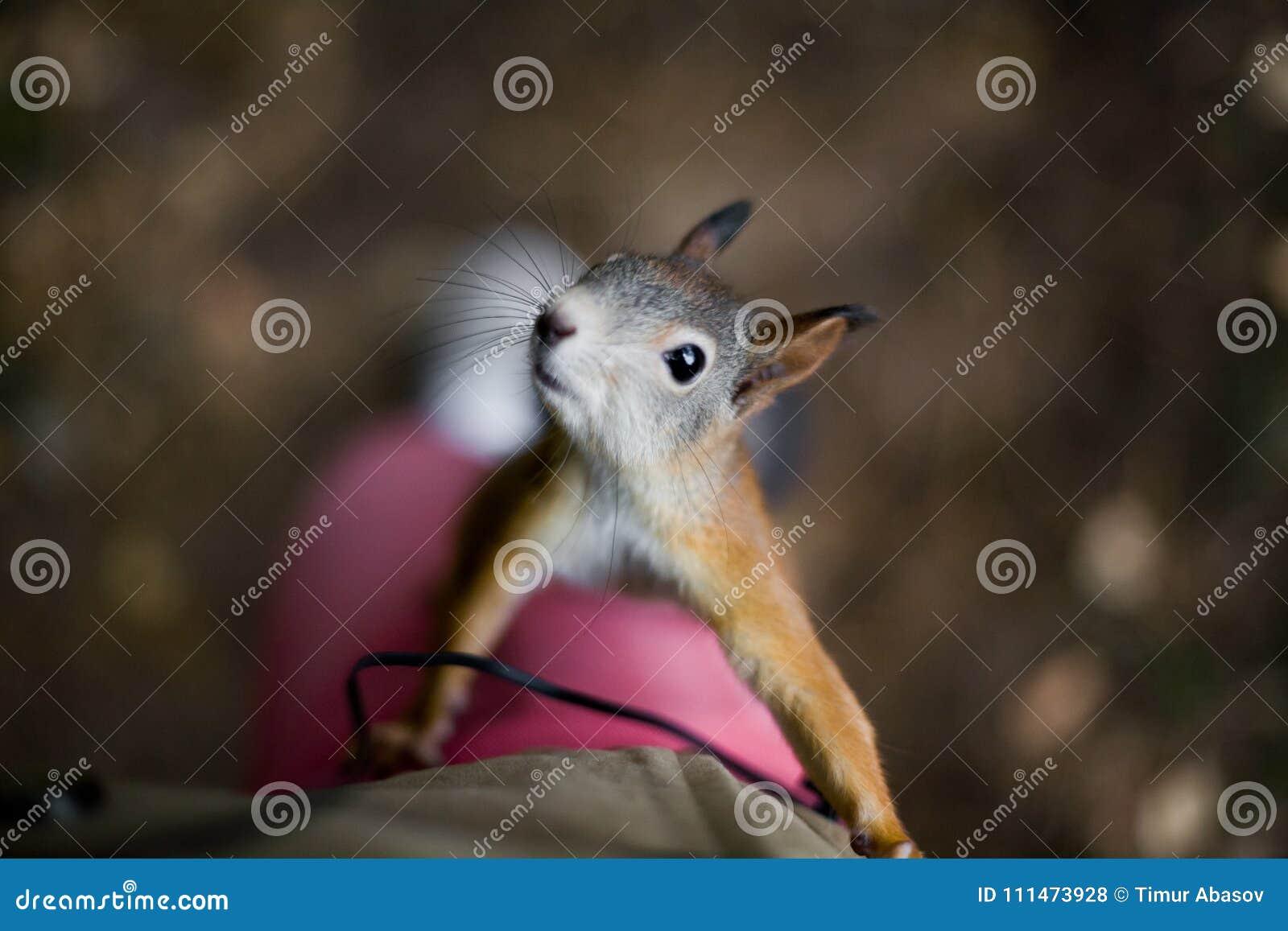 L écureuil sauvage courageux curieux avec une queue pelucheuse s élève sur le foo