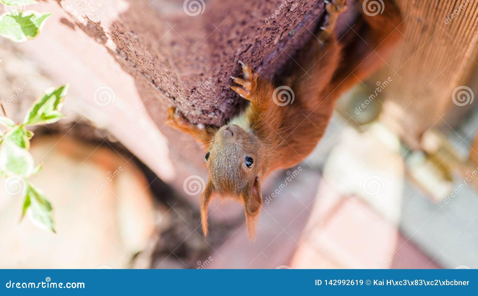 L écureuil velu s élève sur un parc de ville de mur au printemps