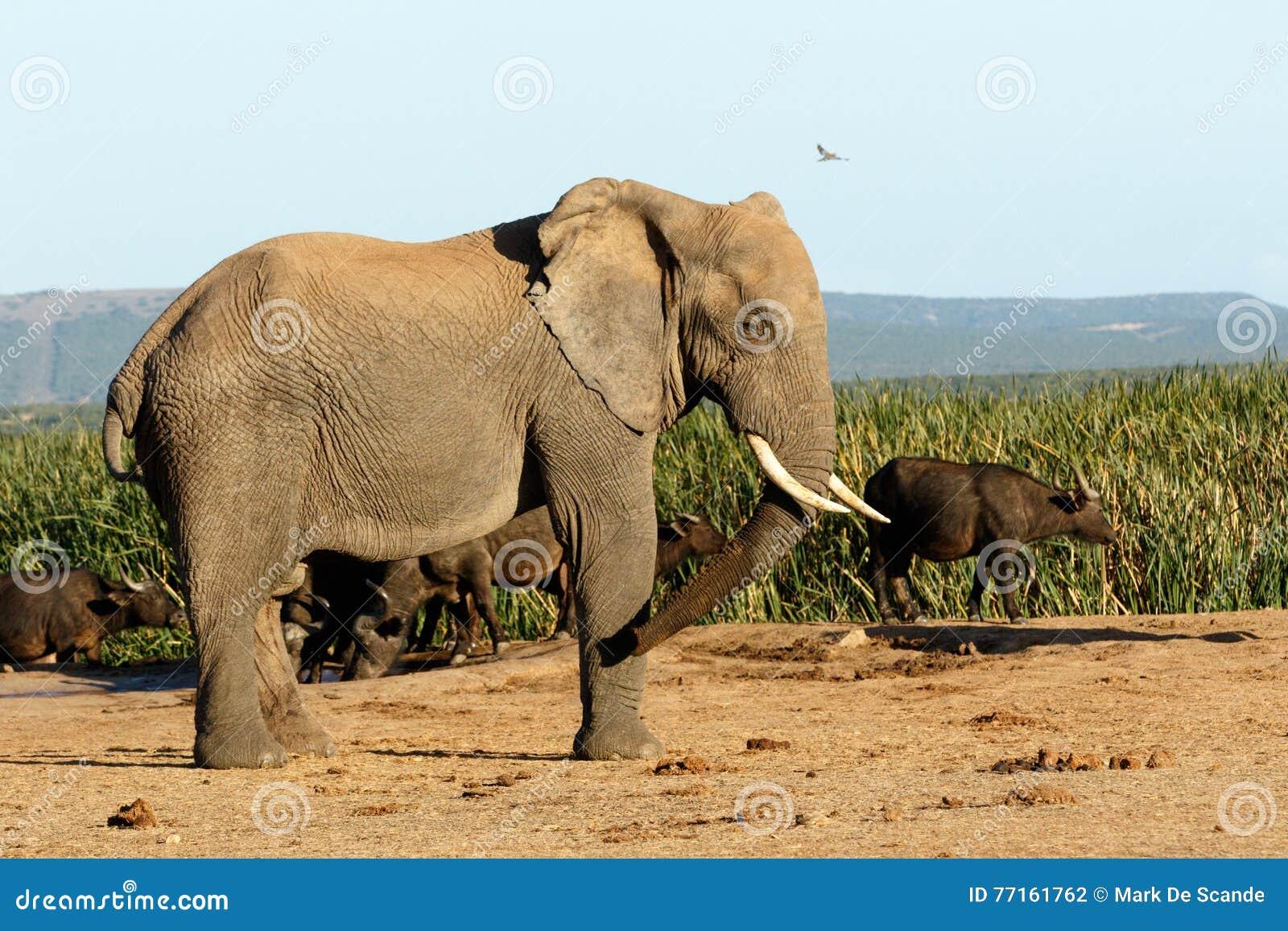 L éléphant africain de buisson
