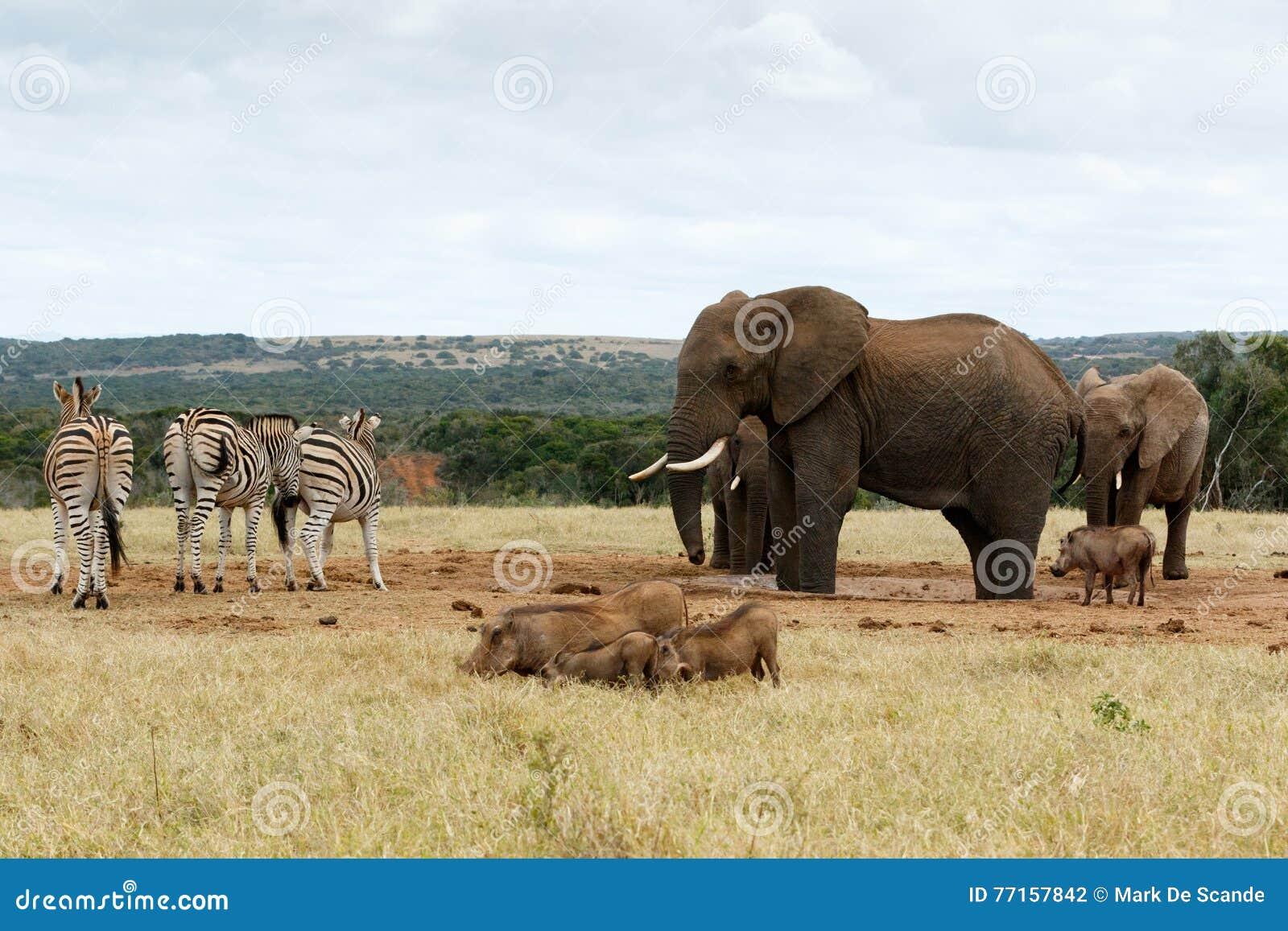 L éléphant de The African Bush de patron