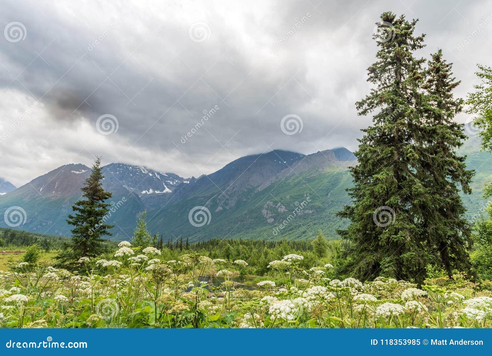 L épilobe blanc fleurit près du ` s Eagle River de l Alaska
